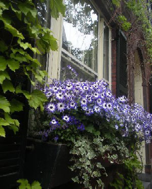 Beacon Hill window box, Boston, Ma.
