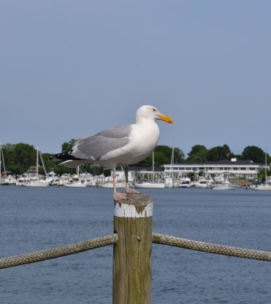 seagull at Wickford Harbor, Wickford, R.I.